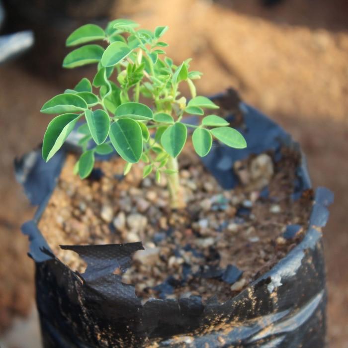 Moringa é uma árvore